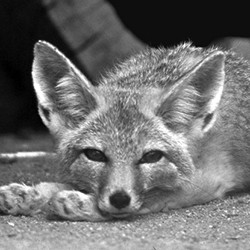 Image result for kit fox